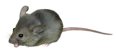 gryzonie_mysz_domowa
