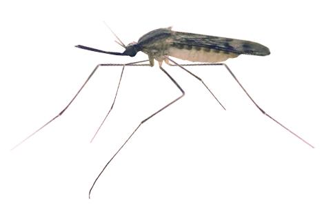 komary_komar_widliszek